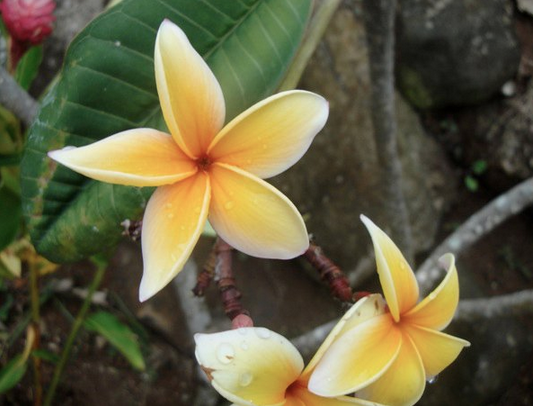 description tahiti tropical flower - photo #7